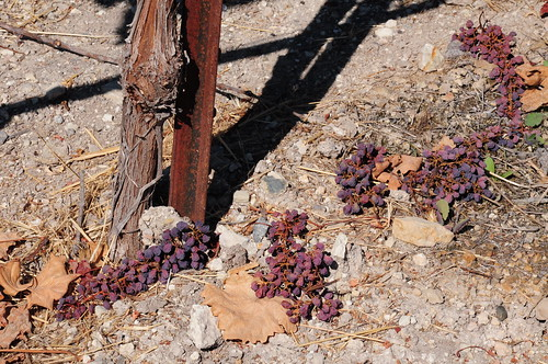 Weve already dropped 50% of the fruit again this year to give the vines a little more strength to grow.