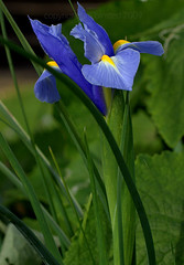 first iris of the year by ab '09