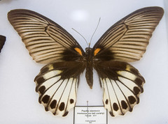 CD480 Papilio memnon memosa (listentoreason) Tags: usa color nature animal closeup america canon butterfly insect newjersey unitedstates gray favorites places lepidoptera animalia arthropoda swallowtailbutterfly invertebrate papilio arthropod tomsriver insecta papilionidae pterygota papilionoidea neoptera endopterygota papilionini ef28135mmf3556isusm score30 ditrysia flutedswallowtail rhopalocera lepidopteran bugmuseum insectropolis truebutterfly bugseum