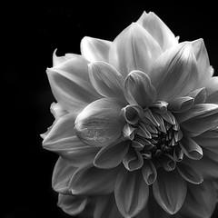 Black And White Flower (aha42   tehaha) Tags: nikkor50mmf14dafnikond60bw500x500squareformatbravoflickrsbestovertheexcellenceppnotesflowers500x500 bw41 27 16colorefexpro30nikoncapturenx2muséhagen flower tobox