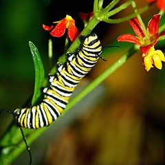 Wet Monarch Caterpillar eats literally all of Milkweed's stems and flowers! (jungle mama) Tags: wet miami caterpillar eat monarch tropical milkweed chrysalis soe pupa larvae cocoon naturesfinest fotocommunity asclepiassyriaca coth supershot specanimal golddragon abigfave macromarvels macrolife stripedcaterpillar 100commentgroup dragondaggeraward smallcreatureswilllovethisplace updatecollection travelsofhomerodyssey lifecyclemonarchbutterfly biscayneparkflorida stripedmonarchcaterpillar yellowblackandwhitestripedcaterpillar