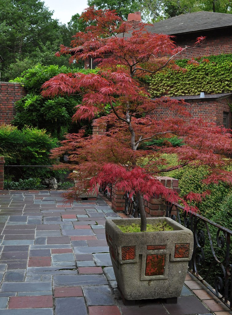 Outdoor Japanese Maples 7