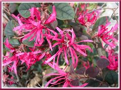 Loropetalum chinense var. rubrum 'Burgundy' or 'Sizzling Pink' (Chinese Witch Hazel, Pink Chinese Loropetalum)