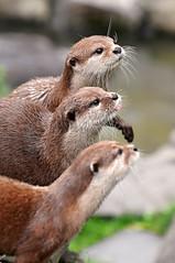 Three in a row (Tambako the Jaguar) Tags: cute mammal zoo switzerland three nikon dwarf small posing otter rheintal d300