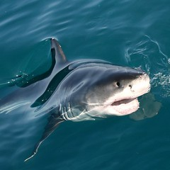 Great White Shark (adour garonne) Tags: ocean southafrica shark requin soe tiburon greatwhite marinelife gansbaai naturesfinest grandblanc afriquedusud specanimal mywinners saariysqualitypictures kleinsbaai aboveandbeyondlevel1 aboveandbeyondlevel2 aboveandbeyondlevel3