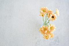 [フリー画像] 花・植物, キク科, ヒナギク・デイジー, 201007082300
