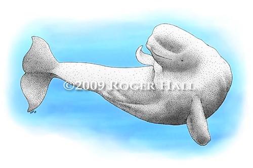 beluga whale drawing. Beluga Whale. Fine art drawing