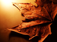 Brown. (sinetempore) Tags: light shadow brown macro leaf ombra grain drop foglia luce marrone goccia venature flickrduel