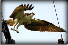 Say hello to my little friend (Garry's lens....) Tags: lake bird beauty wings pond nest beak feathers osprey talons mywinners