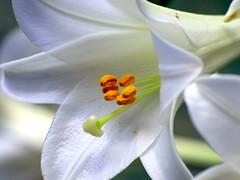 Liri (AlfredoZablah) Tags: flores orchid flower nature colors digital reflex orchids expo olympus el colores explore alfredo salvador orquídeas zuiko hdr exposicion mejor mejores lirios bellezas naturales e510 uro 70300mmed xplored zablah macrolife alfredozablah