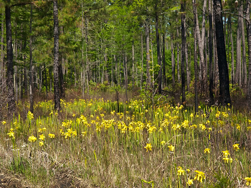 Sarracenia flava (Yellow pitcher plant)
