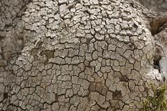 Bast fibre of a plane tree (Ren Mouton) Tags: trees bomen pattern hiking wandelen bast greece macedonia planes platanus planetrees griekenland patroon agiosnikolaos platanen  macedoni  loutraloutrakiou  bastfibre