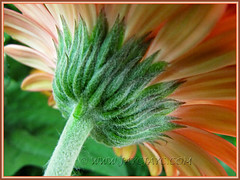 The lovely hairy underside of an orange Gerbera jamesonii (Barberton/Transvaal/African Daisy)