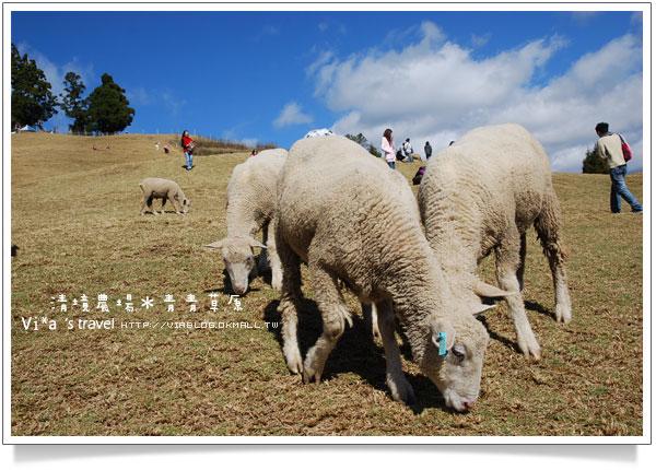 【清境一日遊】清境農場青青草原區~可愛綿羊秀篇