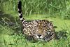 Jaguar (crossing the swamp) (Erick Loitiere) Tags: green water feline swamp jaguar félin canon70200mmf28l frenchguiana specanimal theperfectphotographer montsinnery guyanefrançaise 1ininterestingnesson20090112thankyou