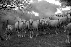 BeHe!!!  forse andr a piovere (marumaru70) Tags: bw canon sheep what attention cosa pecore attenzioni 400d thelittledoglaughed marumaru70 marcopriori