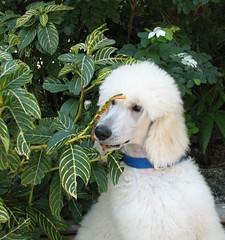 Just A Little Taste! (Louise Lindsay) Tags: plants dog pet white puppy florida keylargo standardpoodle eyecatchers snowbush cherryontop yearofthedog2006 standardpoodlecanicheroyal theunforgettablepictures howwhiteiswhite oodlesofpoodles clanflickr 52weeksofdolgs