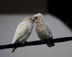 Corella kiss (anderlee) Tags: bird australia cockatoo corella