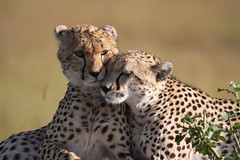 Cheetah Cub and Mother (Hector16) Tags: acinonyxjubatus cubs africa kenya flickrbigcats potofgold explored gettyimages getty images