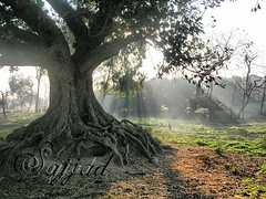 Rays of Light (Sajjad Tufail.) Tags: old trees pakistan tree green nature grass leaves canon landscape photo leaf amazing view natural very sony awesome stunning land scape challenge beautifull potofgold wonderfull sialkot goldstaraward sonyphotochallenge