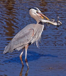 Leopard Shark vs. Great Blue Heron Death Match