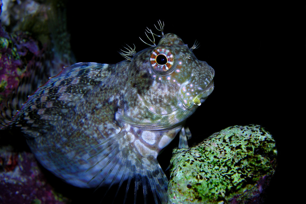 PINK SPOTTED BLENNY