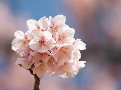 Cherry Blossom 39 (Kanzakura) (jumbo185usa) Tags: flowers s olympus sakura e3 nikkor f4 200mm  200mmf4aismicro aimicro4200s aimicronikkor