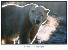 Blowing off steam (Arie van Tilborg) Tags: zoo rotterdam blijdorp steam polarbear chapeau polar steamy ijsbeer steaming stoom potofgold blowingoffsteam canonef70200mmf28lisusm twtme twtmeiconoftheday arievantilborg vosplusbellesphotos digitphotopro allphotoswanted stoomafblazen