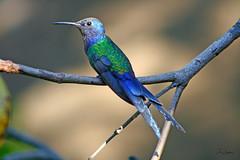 Beija-Flor -  Swallow-tailed Hummingbird (Robson Borges) Tags: brazil brasil hummingbirds swallow beijaflor passaro goinia gois swallowtailed macroura beijaflortesoura eupetomenamacroura swallowtailedhummingbird eupetomenamacrourus eupetomena robsonborges