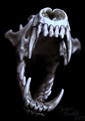 Coyote Howl (Little Lioness) Tags: coyote dog black nature animal skull shadows hand teeth rawr jaws mementomori wildanimal fangs animalskull canid animalskulls outofthedarkness skullpics coyoteskull blueskull predatorskull awesomeskullphotos openmouthskull photographsofskulls photosofanimalskulls