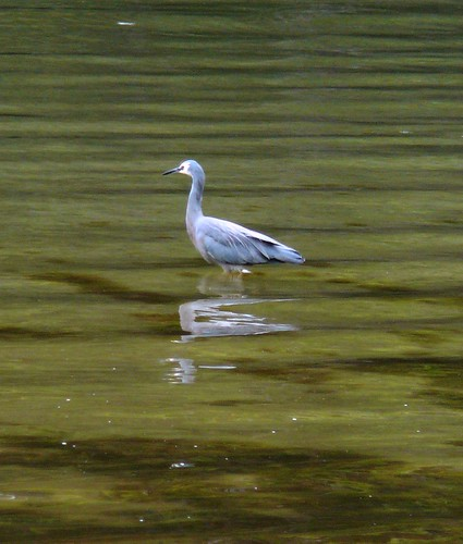 White-faced Heron, Near Lune River