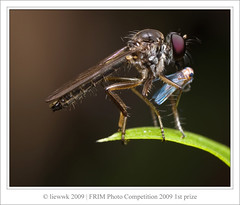 Forest Research Institute Malaysia (FRIM) Photo Competition 2009 1st Prize Picture (liewwk - www.liewwkphoto.com) Tags: forest photo competition institute research malaysia robberfly 2009 frim macrolife vosplusbellesphotos notyournormalbug