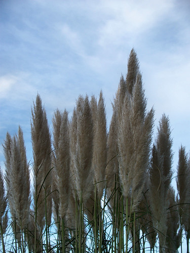 Cola de Zorro | Pampas Grass by katiemetz, on Flickr