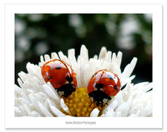Happy Saturday !! (Anuma S. Bhattarai) Tags: flowers nepal red white flower nature yellow garden whiteflower march asia saturday bugs ladybug kathmandu ladybugs nepali sharma redbugs anuma 15challengeswinner picturefantastic vosplusbellesphotos anumasharma 72lumixpanasonicdmcls70