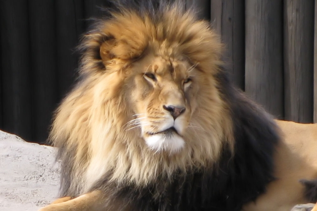 African Lion photo by Adrienne in Ohio