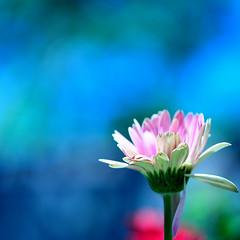 "Live each season as it passes..."" (.I Travel East.) Tags: blue red sunlight flower nature floral square petals nikon dof bokeh details cyan clarity gerbera crop bloom nikkor cgb squarecrop hmb henrydavidthoreau d700 nikond700 itraveleast liveeachseasonasitpassesbreathetheairdrinkthedrinktastethefruitandresignyourselftotheinfluencesofeach henrydavidthoreauamericanessayistpoetandphilosopher18181862"