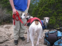 The whippets display their enthusiasm over being leashed