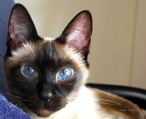my siamese cat, sputnik