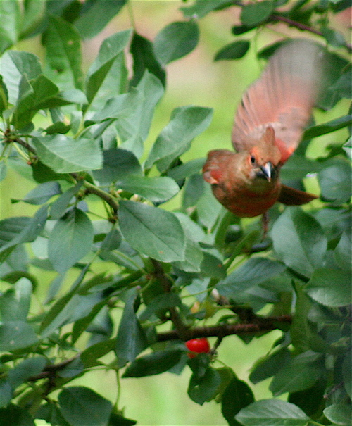 cherry cardinal flight