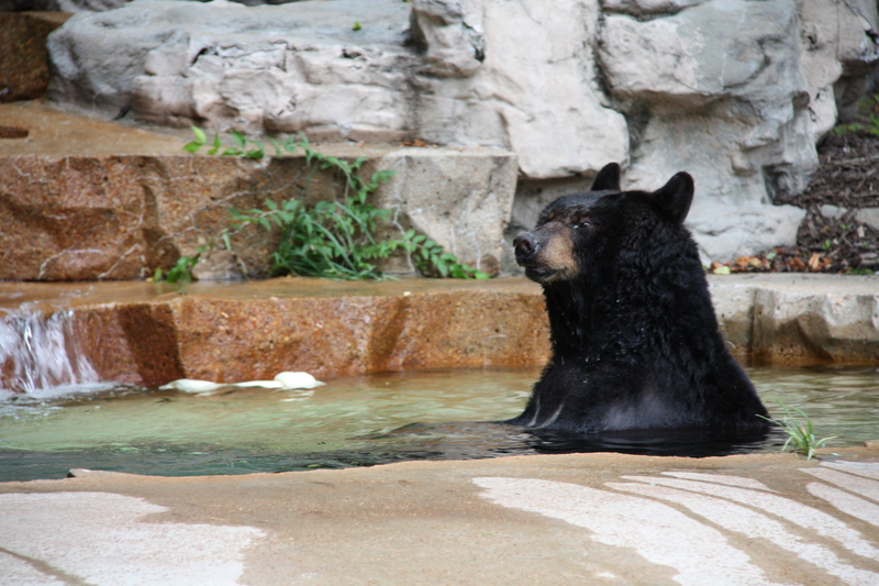 Sad Black Bear
