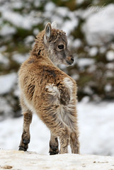 Cutie pie (* mateja *) Tags: mountains wildlife slovenia slovenija soe offspring steinbock mateja gams julianalps capraibex kozorog julijskealpe natureselegantshots 100commentgroup krikipodi