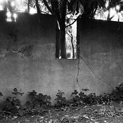 cracked wall-cropped (pamelakliment) Tags: roses bw concrete flickr pentaxk1000 kirke kliment crumblingwalls seattleparks 7thelectchurch pamelakliment