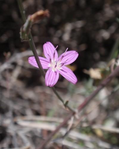 Pink 5 Petal