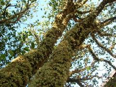 JABUTICABA  LUIS BACHER  Tags  Jabuticaba Flower