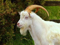 Pentax K100D.70-210mm Lens. Portrait Of A Goat.August 16th. (Blue Melanistic.Twelve Million Views.) Tags: road ireland portrait nature animal lens pentax horns goat billy wandering tyrone melanistic 70210mm bradan whiite k100d