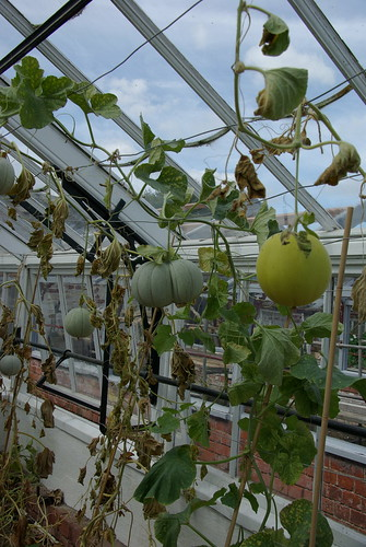 Melons in the Restored Greenhouse