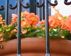 begonijos balkone