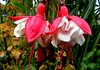 Twin Fuschia. (northerntourer) Tags: flower sisters garden petals ballerina redwhite fuschia foliage fujifinepix digitalcameraclub tarbolton