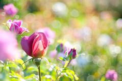 A Dreamy and Magical Light (georgianna lane) Tags: light summer flower rose bokeh magical
