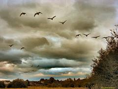 Skein Wedge (Lady Wulfrun) Tags: birds flying geese wildlife flight staffordshire wedge skein wildgeese vformation flightofgeese doxeymarshesstafford 8thseptember2009 flightofwildgeese theflightofthewildgeese